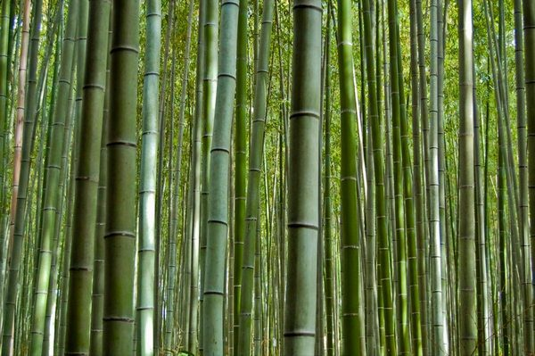 The Sagano Bamboo Forest - Kyoto Japan