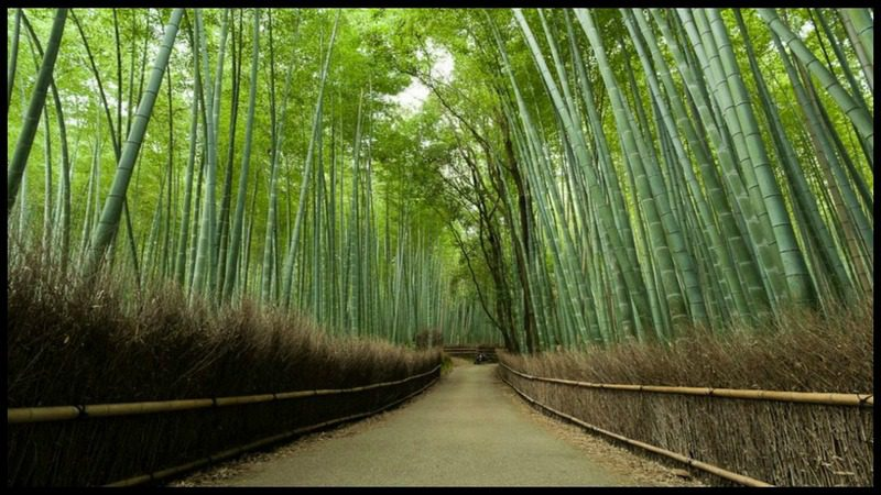 The Sagano Bamboo Forest – Kyoto Japan