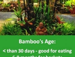 Bamboo - use by culm age