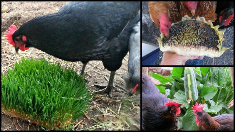 Homemade Treats For Your Chickens