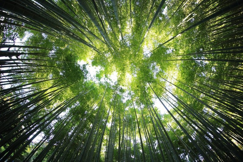 The vast majority of bamboo flooring is made from Moso, a fast growing, running bamboo.