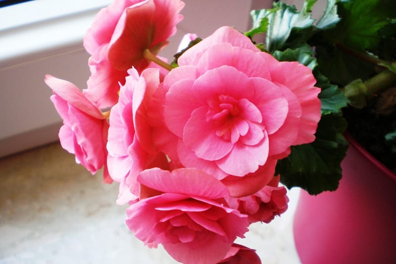 Begonias will thrive in the warmth and humidity of a bathroom shelf.