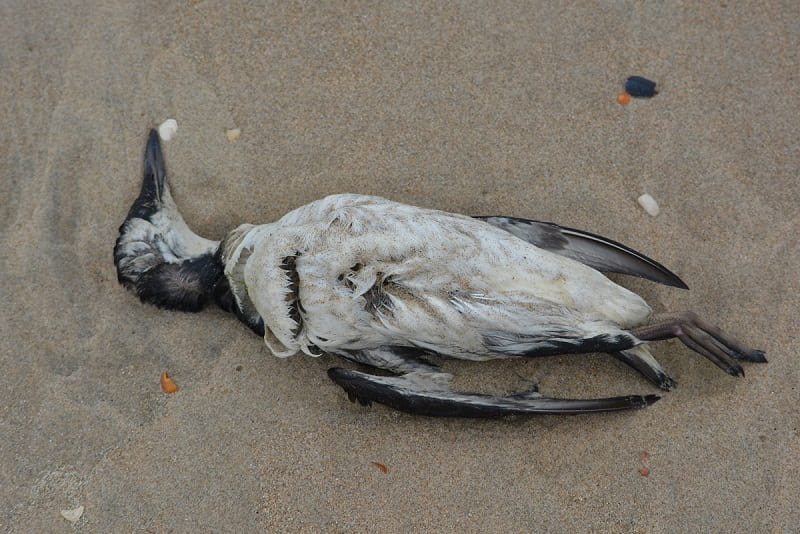 """An enormous heatwave nicknamed """"The Blob"""" has killed a million seabirds along the west coast of North America, according to researchers."""