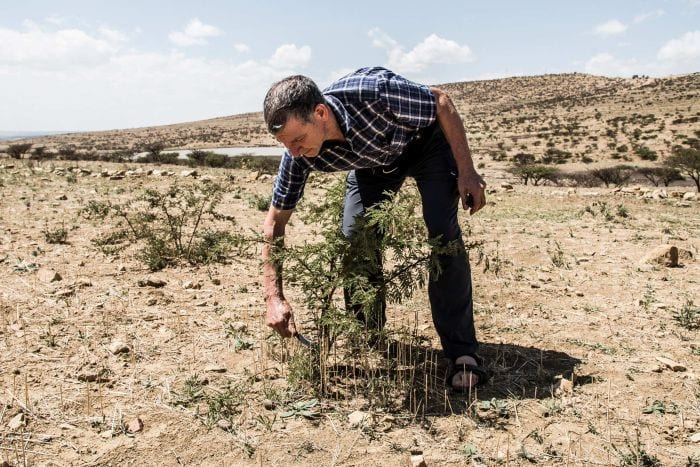 """Tony Rinaudo prunes a thorny acacia tree, which helps transform useless-looking """"desert bushes"""" into potential trees."""